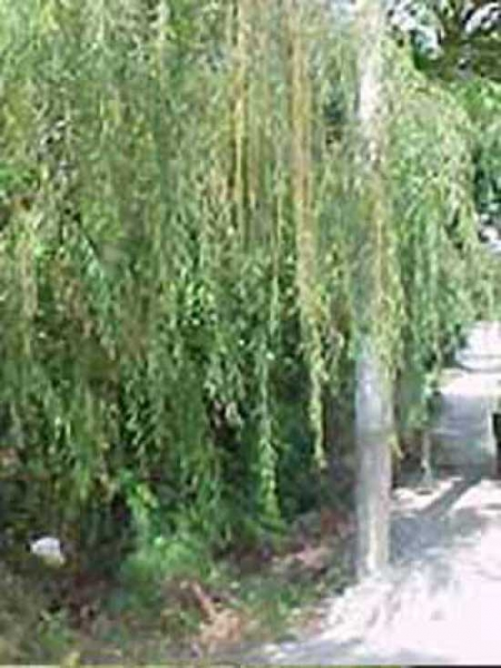 Salix babylonica 'Pendula' / Babylonische Trauer-Weide