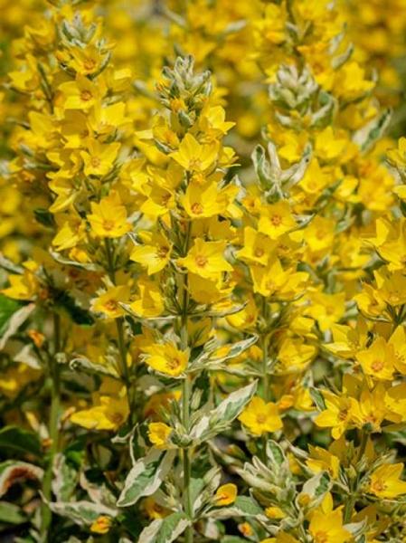 Lysimachia punctata 'Variegata' / Gold-Felberich
