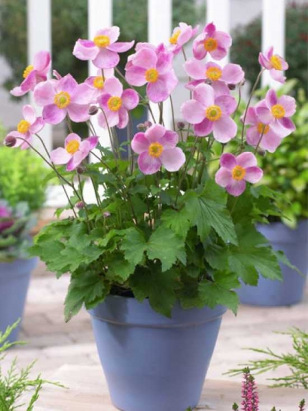 Anemone hybride 'Little Princess' / Herbst Anemone 'Little Princess'