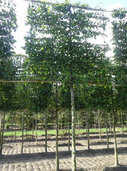 Carpinus betulus / Hainbuche / Weißbuche 'Hochstamm-Spalier' H:160 B:160 T:20 (Stamm 210 cm)