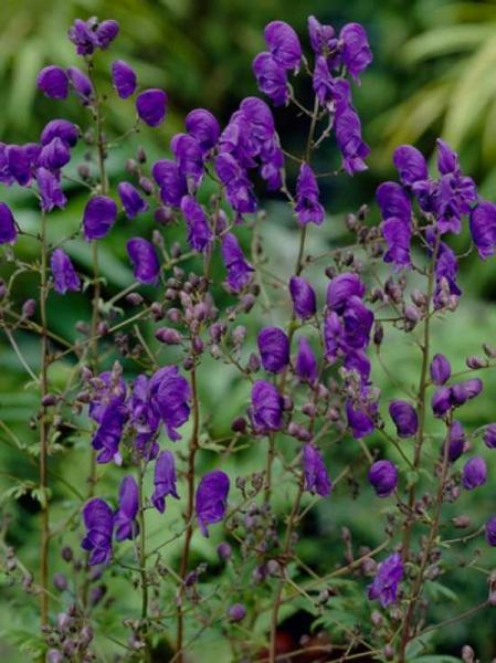Aconitum henryi 'Spark's Variety' / Garten-Eisenhut 'Spark's Variety'