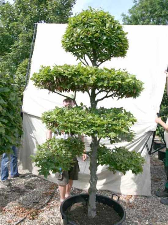 fagus sylvatica h 240 cm b 150 cm garten bonsai 0441328 g nstig kaufen baumschule new garden. Black Bedroom Furniture Sets. Home Design Ideas