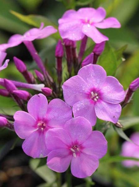 Phlox amplifolia 'Pink Lady' / Großblättrige Flammenblume 'Pink Lady'
