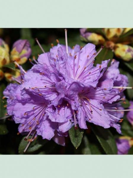 Rhododendron ferrugineum 'Luisella' / Rhododendron 'Luisella'