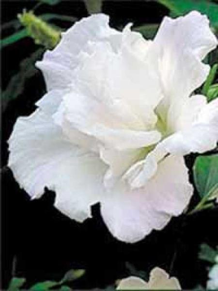 Hibiscus syriacus 'Jeanne D'arc' / Garten-Eibisch 'Jeanne D'arc' / Strauch-Eibisch 'Jeanne D'arc'