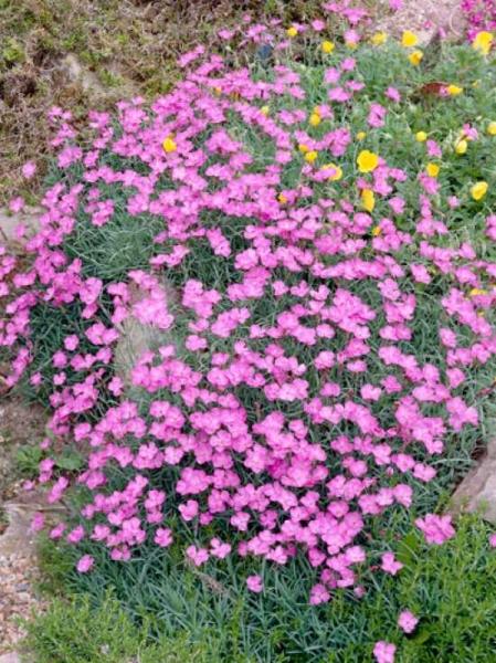 Dianthus gratianopolitanus 'Pink Jewel' / Pfingst-Nelke