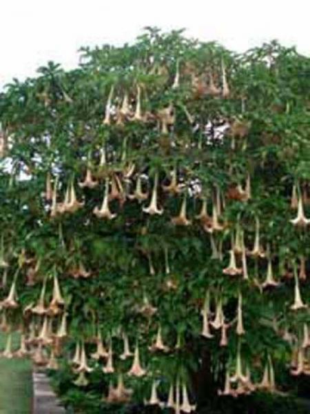 Brugmansia arborea / Engelstrompete / Baumstechapfel