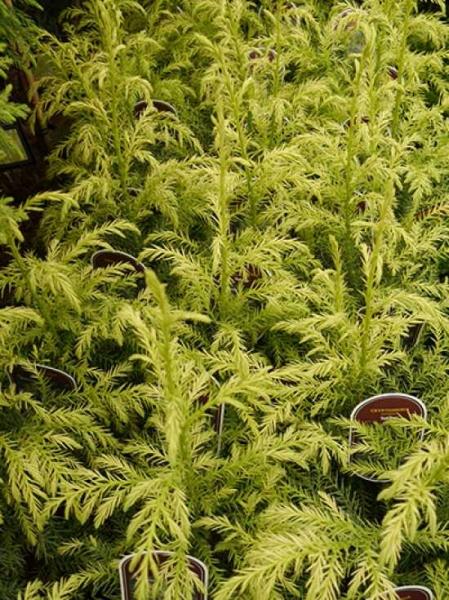 Cryptomeria japonica 'Sekkan' / Gelbe Sicheltanne