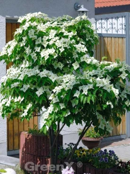 Cornus kousa var. chinensis / Chinesischer Blumen-Hartriegel