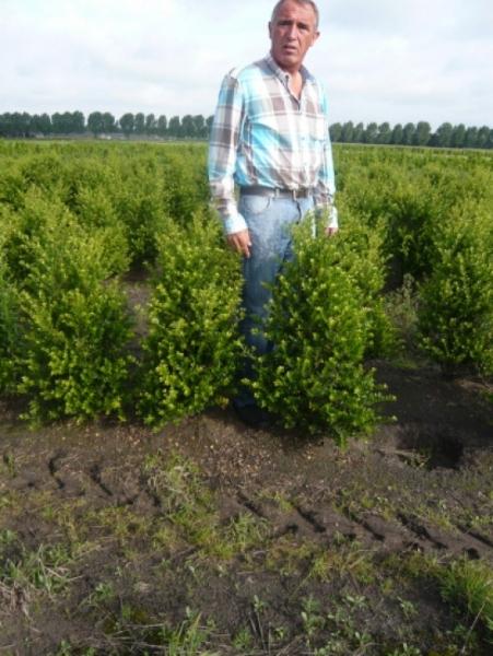 Ilex crenata 'Green Hedge' / Kleinlaubige Japan-Hülse 'Green Hedge' 80-100 cm mit Ballierung