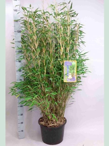 Fargesia murielae 'Jumbo' / Gartenbambus 'Jumbo' 100-125 cm im 10-Liter Container