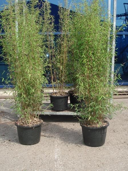 Fargesia nitida 'Jiuzhaigou 1' / Jade Bambus 150-175 cm im 20-Liter Container