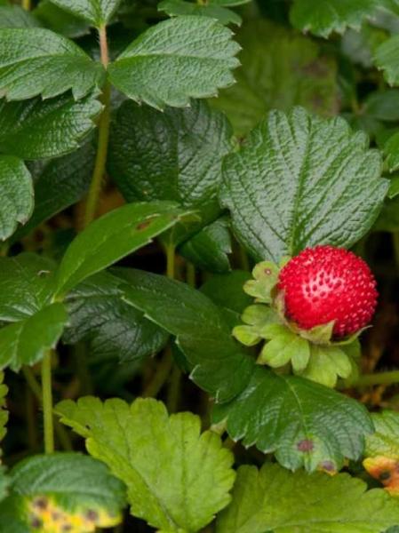 Fragaria chiloensis 'Chaval' / Teppich-Erdbeere