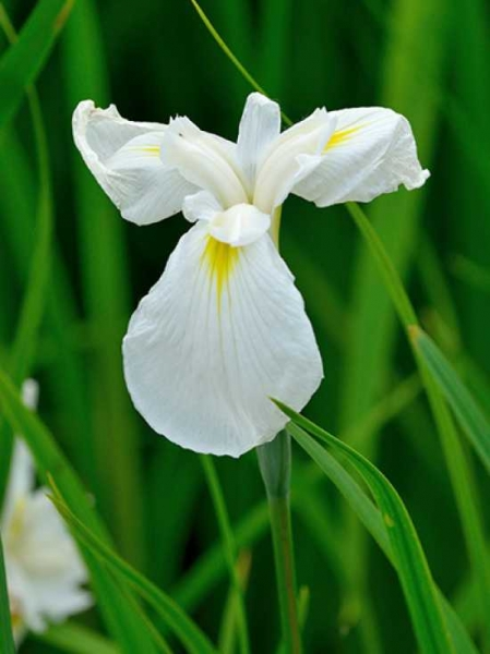 Iris ensata 'Diamant' / Japanische Schwertlilie, Sumpf-Schwertlilie