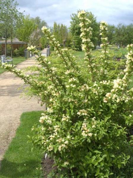 Weigela middendorffiana / Gelbblütige Weigelie
