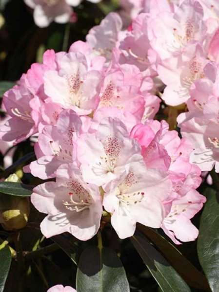 Rhododendron yakushimanum 'Sommertraum' / Rhododendron 'Sommertraum'