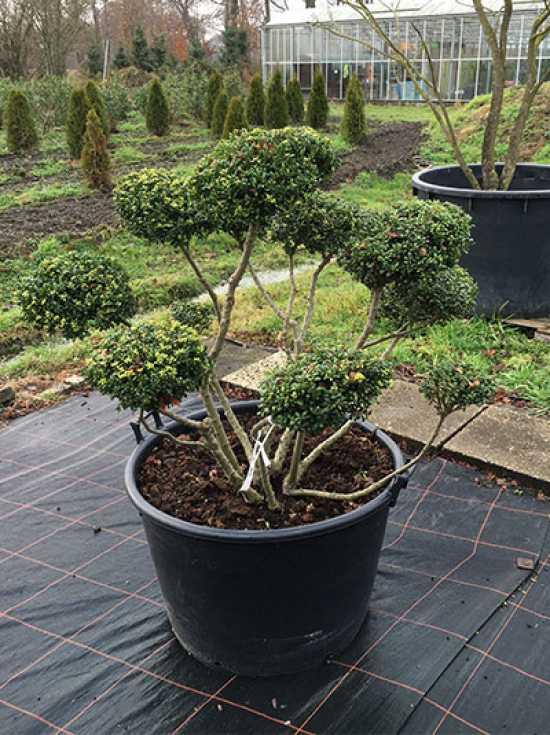 ilex crenata 39 convexa 39 h 100 cm b 130 cm garten bonsai. Black Bedroom Furniture Sets. Home Design Ideas