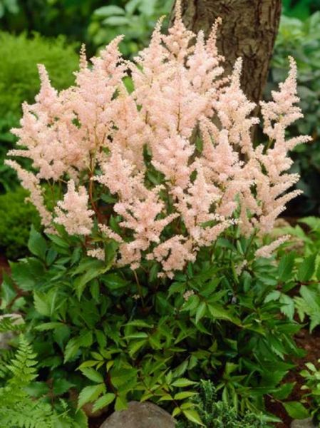 Astilbe japonica 'Peach Blossom' / Beet-Prachtspiere