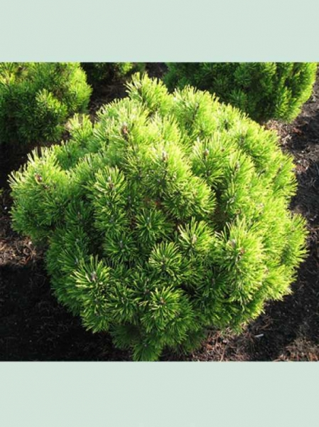 Pinus mugo 'Wintersonne' / Berg-Kiefer