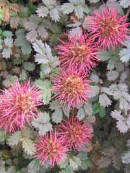 Acaena microphylla / Braunblättriges Stachelnüsschen