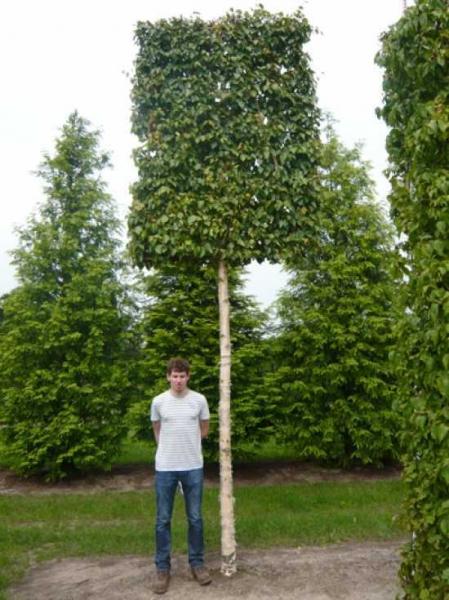 Betula ermanii / Gold-Birke, Ermans-Birke 'Hochstamm-Spalier' H:240 B:160 T:20 (Stamm 270 cm)