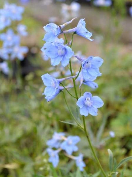 Delphinium belladonna 'Cliveden Beauty' / Garten-Rittersporn