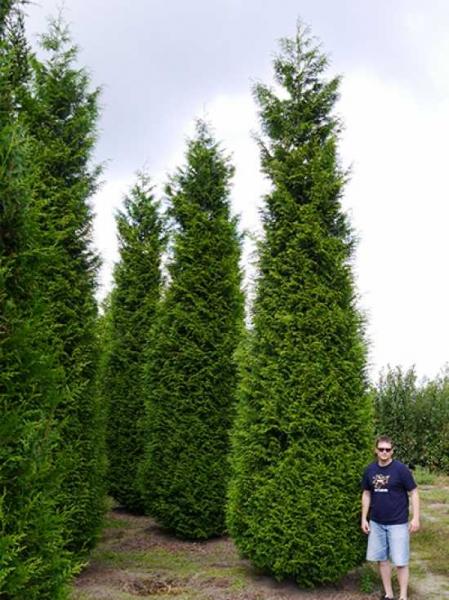 Thuja plicata 'Atrovirens' / Lebensbaum 'Atrovirens' 600-700 cm Solitär mit Drahtballierung