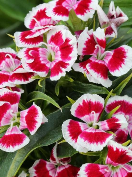 Dianthus barbatus / Bartnelke