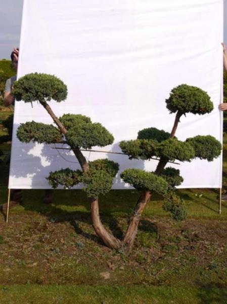 Juniperus squamata 'Blue Carpet' H: 160 B: 190 cm / Garten-Bonsai (0037)