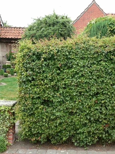 Atemberaubend Acer campestre / Feld-Ahorn 80-100 cm wurzelnackt günstig kaufen &BZ_62