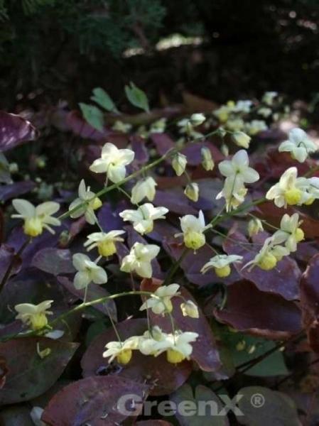 Epimedium versicolor 'Sulphureum' / Garten-Elfenblume
