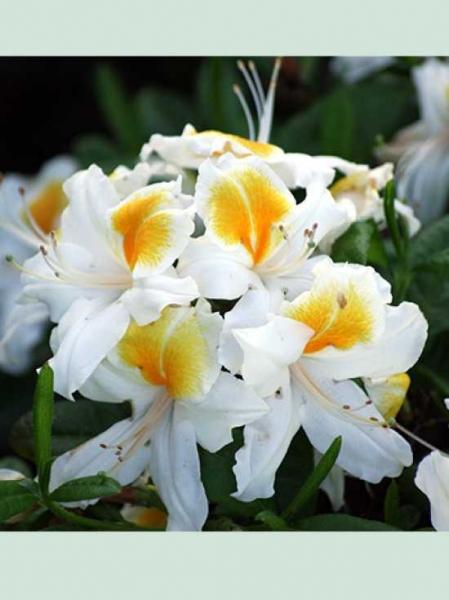 Azalea 'White Melody' / Sommergrüne Azalee 'White Melody'