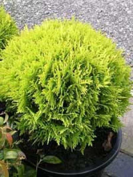 Thuja occidentalis 'Mirjam'® / Lebensbaum 'Mirjam'®