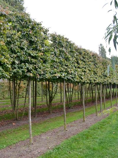 Parrotia persica / Eisenholzbaum 'Hochstamm-Spalier' H:150 B:200 T:10