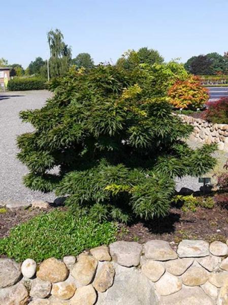 Acer palmatum 'Mikawa yatsubusa' / Grüner Zwerg-Fächer-Ahorn