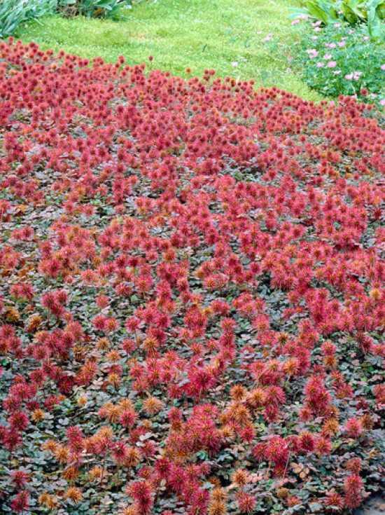 Acaena Microphylla Kupferteppich Kupferrotes Garten Stachelnüsschen
