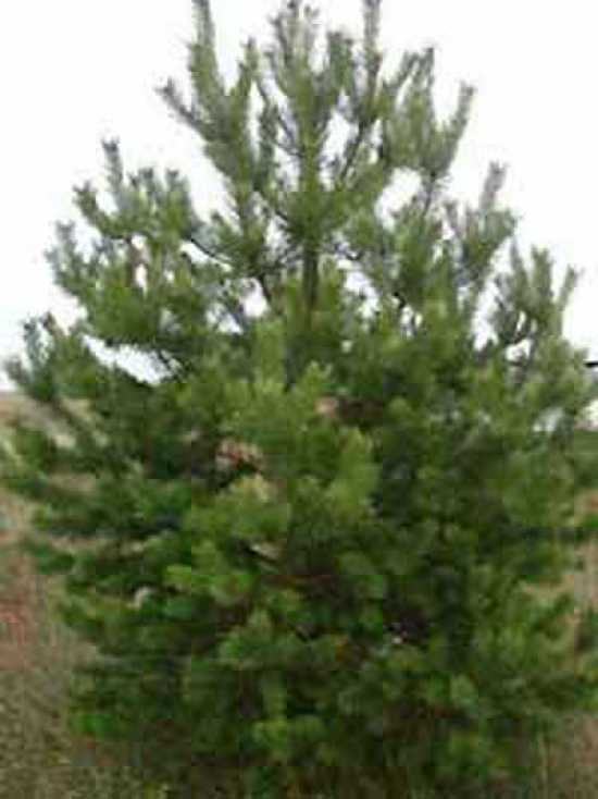 Pinus sylvestris gew hnliche kiefer f hre wald - Kiefer baum kaufen ...