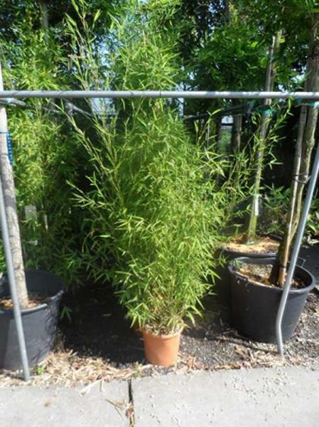 Phyllostachys aurea / Knoten-Bambus 150-175 cm im 12-Liter Container
