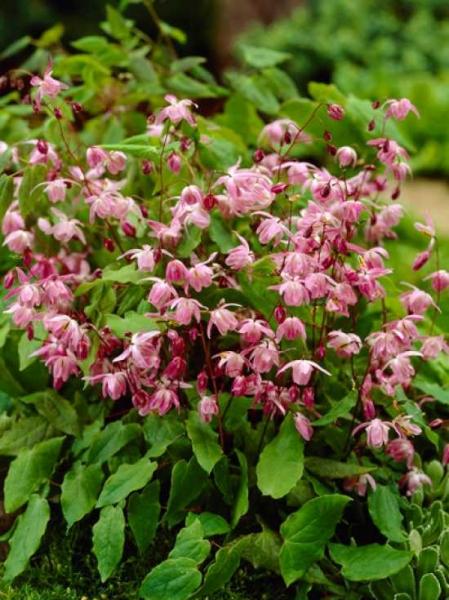 Epimedium youngianum 'Roseum' / Elfenblume
