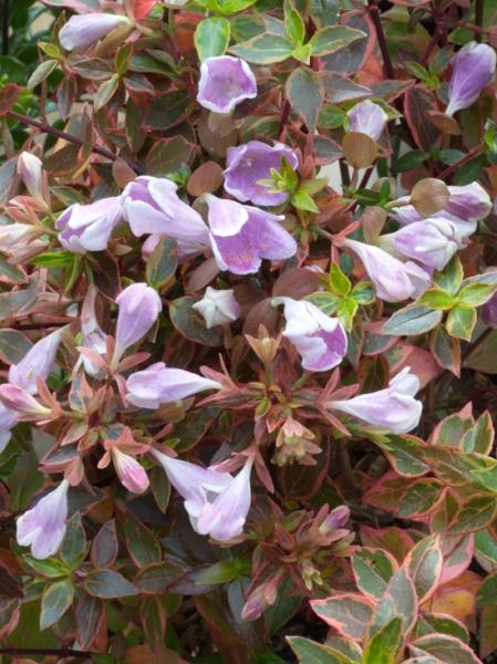 Abelia grandiflora 'Sunshine Daydream' / Großblumige Abelie 'Sunshine Daydream'