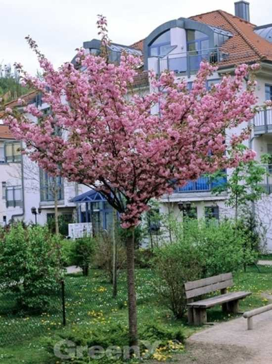 prunus serrulata 39 kanzan 39 japanische nelken kirsche g nstig bestellen baumschule new garden. Black Bedroom Furniture Sets. Home Design Ideas