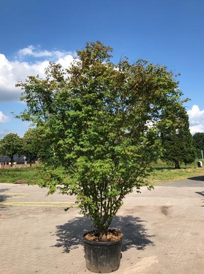 Acer palmatum / Fächer-Ahorn / Japanischer Ahorn 350-400 cm Solitär (7112)