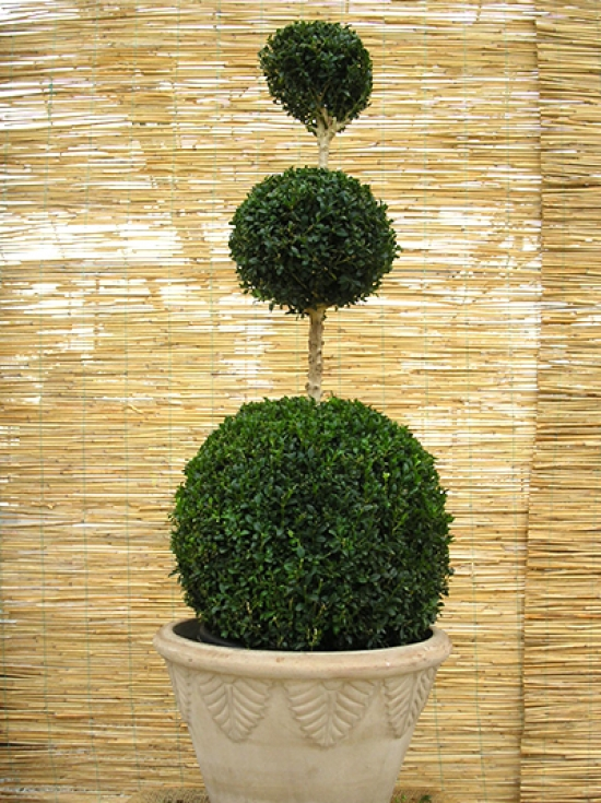 mehrfachkugeln gew hnlicher buchsbaum 39 mehrfachkugel 39 buxus sempervirens 39 mehrfachkugel. Black Bedroom Furniture Sets. Home Design Ideas