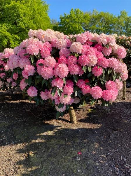 Rhododendron yakushimanum 'Arabella' auf Stamm / Rhododendron 'Arabella' auf Stamm