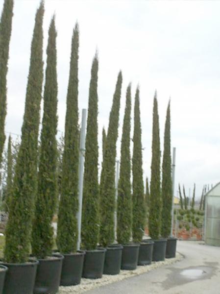 Cupressus sempervirens / Säulenzypresse 500-600 cm im 285-Liter Container