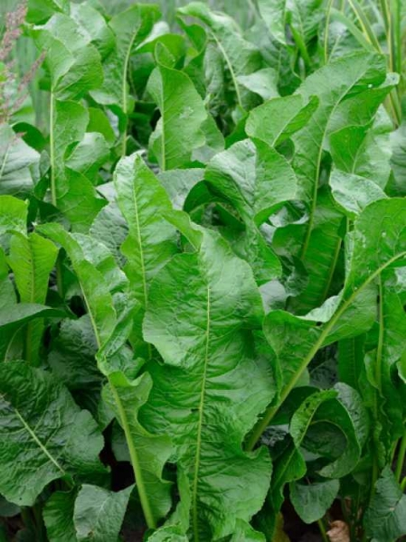 Armoracia rusticana / Meerrettich / Kren
