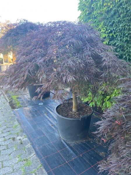 Acer palmatum 'Dissectum Garnet' auf Stamm / Dunkelroter Schlitz-Ahorn / Japanischer Ahorn Kronenbreite 175-200 (Nr.171)