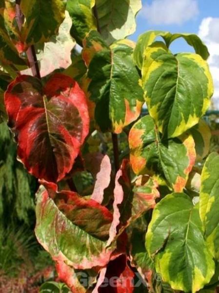 Cornus Florida Rainbow Amerikanischer Blumen Hartriegel Rainbow