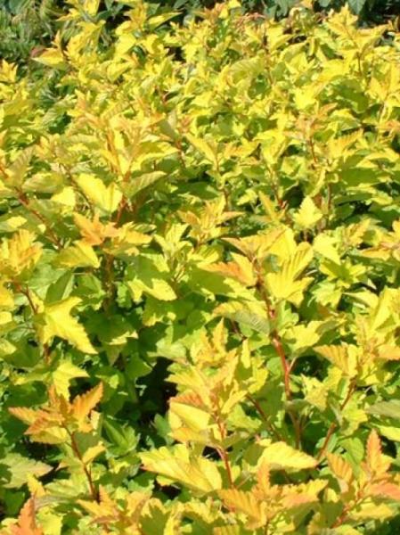 Physocarpus opulifolius 'Luteus' / Gold-Blasenspiere