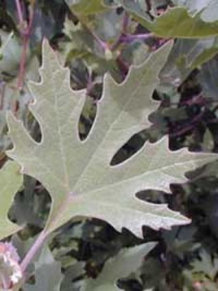 Platanus orientalis var. cuneata / Morgenländische Platane cuneata / Orientalische Platane cuneata